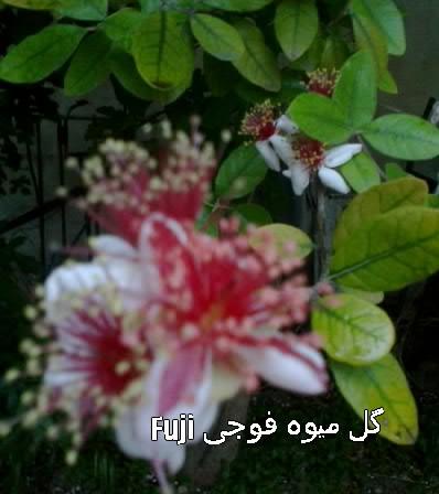 گل میوه فوجی